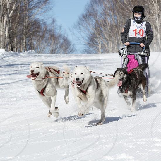 PETROPAVLOVSK-KAMCHATSKY CITY KAMCHATKA PENINSULA RUSSIAN FAR EAST - FEB 23 2017: Kamchatka Kids Competitions Sled Dog Race Dyulin (Beringia). Runs dog sled young Kamchatka musher Popova Elizabeth. photo