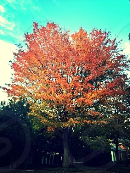 red maple tree across the street photo