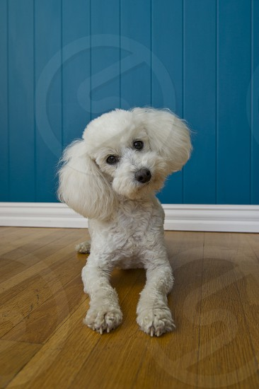 Image of a curious poodle looking at the camera photo