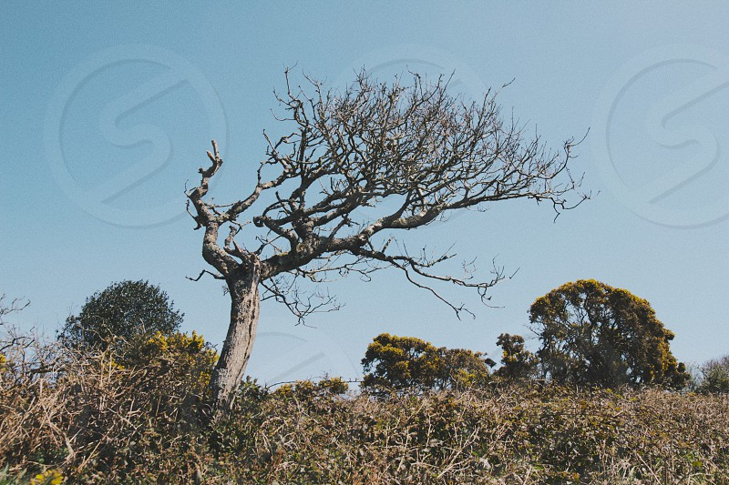 A bare windswept tree stand out against a blue sky on a sunny day. Taken nr. Sidmouth Devon UK. photo