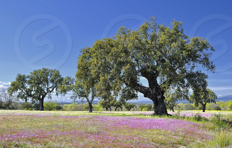 spring field flowers Extremadura Spain tree oak cork oak  photo