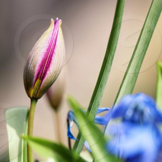 tulip plants photo
