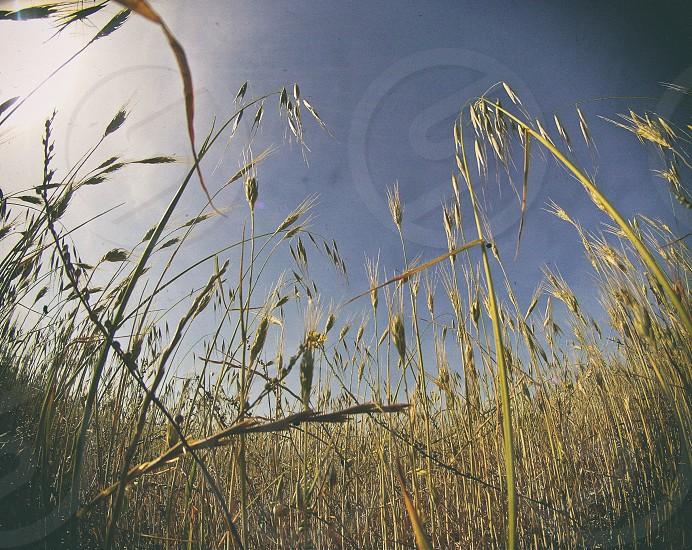 wheat plants in field photo