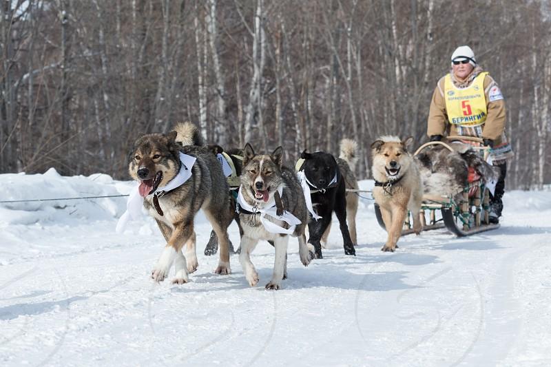 KAMCHATKA RUSSIA - MARCH 9 2013: Running dog sledge team Kamchatka woman musher Bayshuakova Margarita. Traditional Kamchatka extreme Dog Sledge Race Beringia. Russian Federation Far East Kamchatka Peninsula. photo