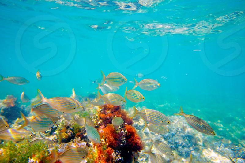 Mediterranean underwater with salema fish school in spain photo
