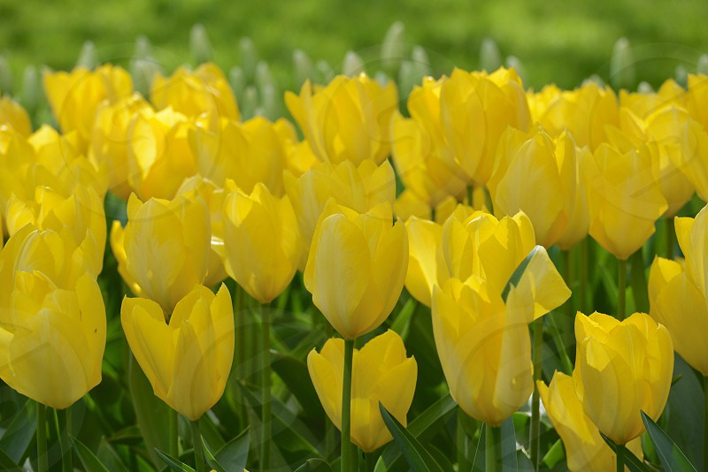 Bright yellow tulips in the spring photo