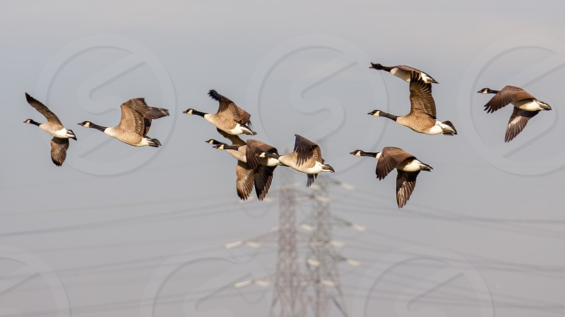 Greylag Geese (anser anser) flying over marshes in Essex photo