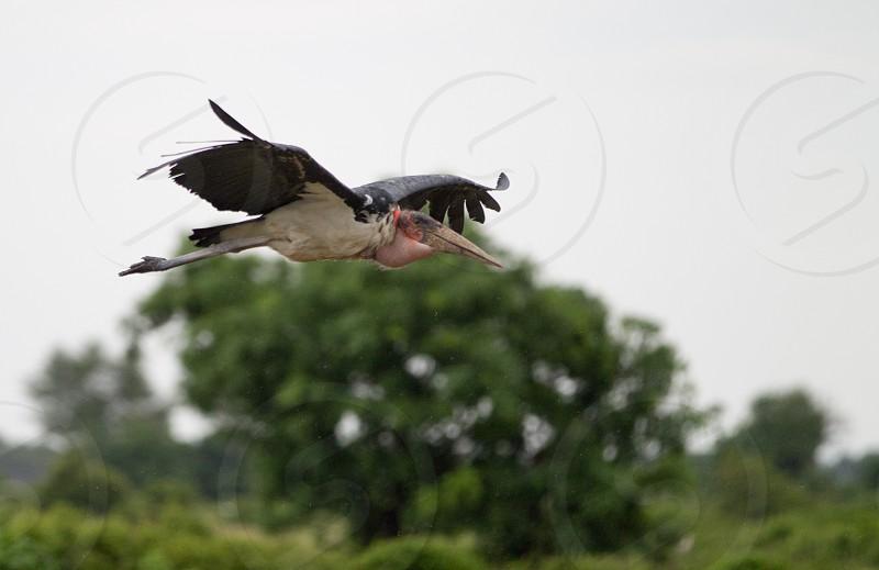 africa safari bird stork flight photo