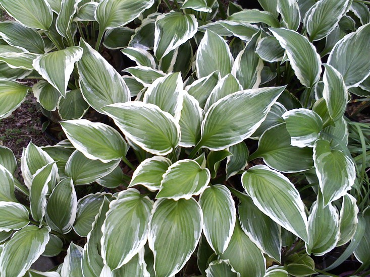 Hosta plants in my yard.  photo