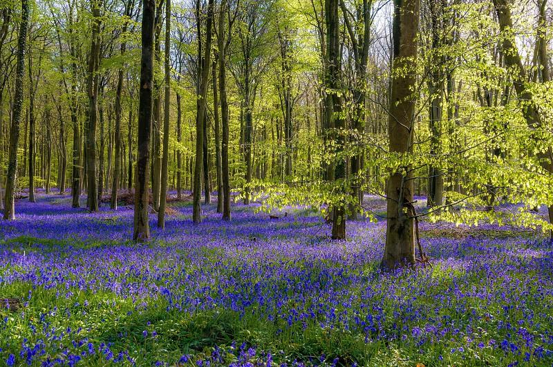 Flowers woods woodland bluebell photo