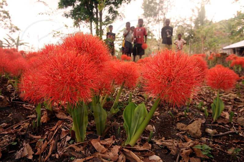 tropical flowers in the town of Viqueque in the south of East Timor in southeastasia. photo