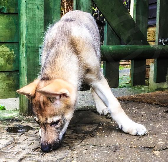 German shepherd puppy on focus photo photo