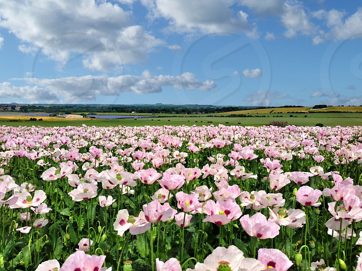 pink flower field green grass field and white cloudy blue sky photo