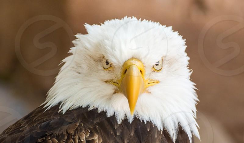 Incredible look of a bald eagle. photo