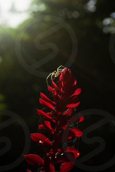 Sunlit Spinster: A spider perched atop a red ginger flower that it has covered with webs in hopes to catch a nice meal. photo