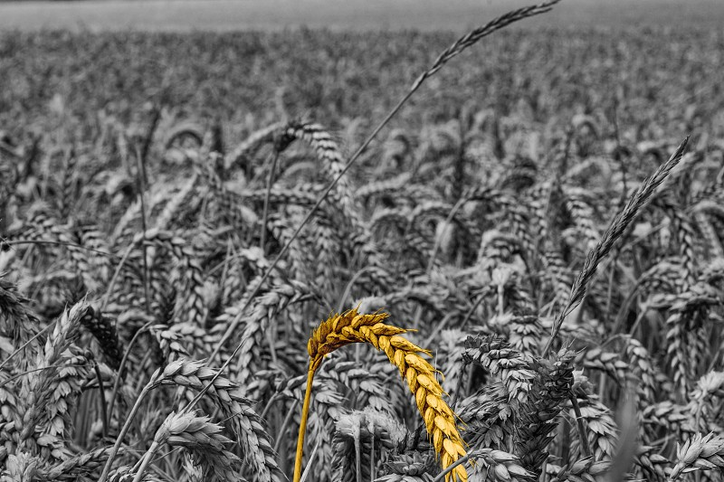 Yellow sheaf of wheat isolated from black and white wheat field background  photo