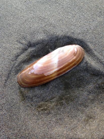 Razor clam at seaside Oregon photo