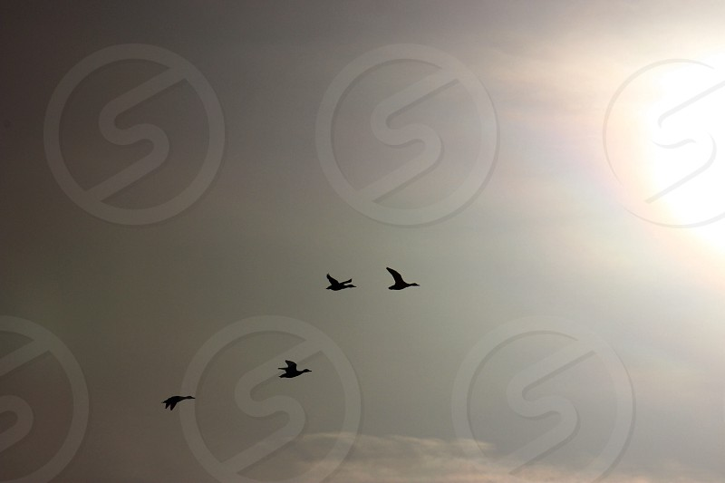 four birds flying silhouette  photo