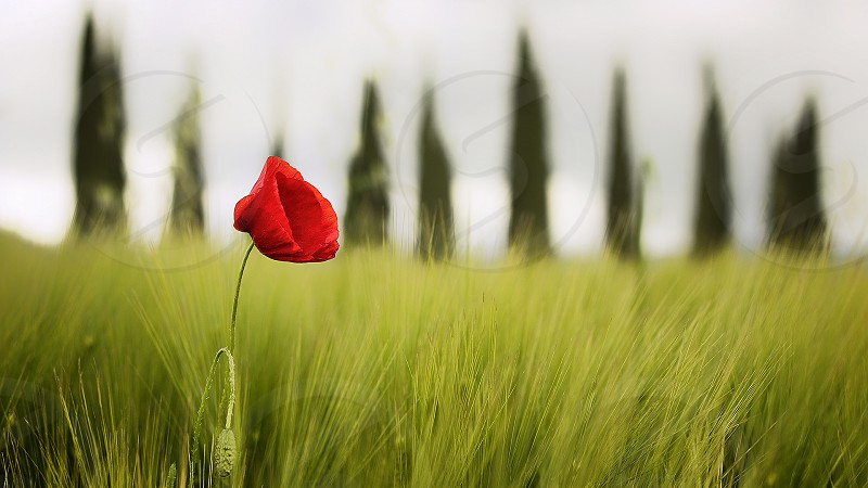 Poppy cypress green grass nature remembrance photo