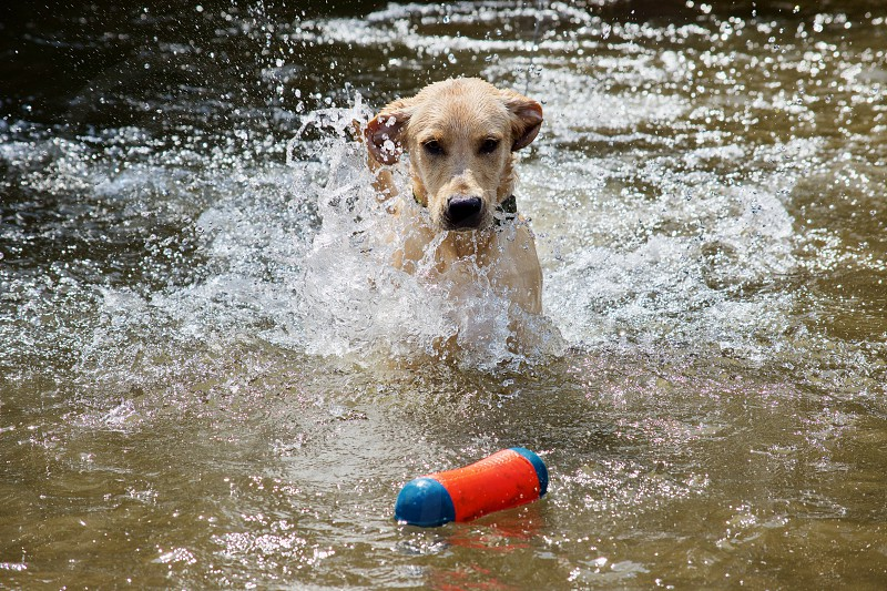 Labrador retriever puppy splashing water while playing with toy in a creek photo