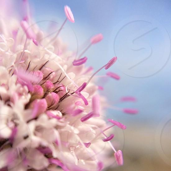 Macro of a pincushion flower photo