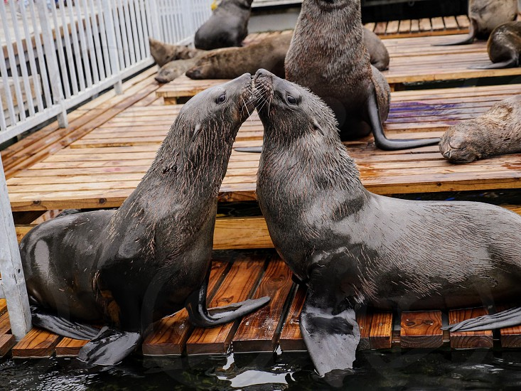 Seals kissing in harbor photo