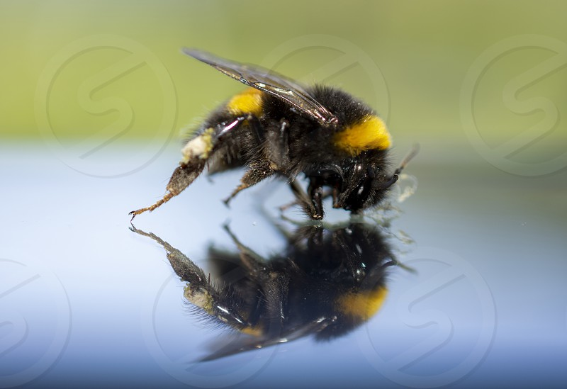 bombus invertebrate mirror photo