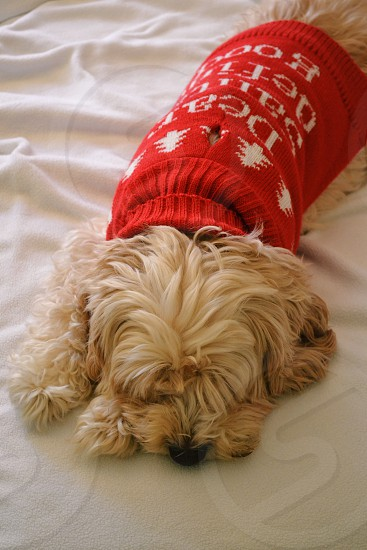 long coat medium size dog wearing red sweater laying on bed photo