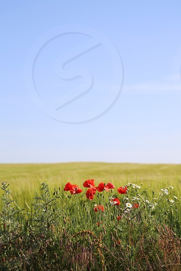 Field flowers flowering nature nature's beauty sky background  wallpaper  copy space  poppies poppy open space photo