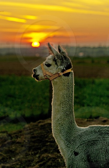 alpaca with sunset photo