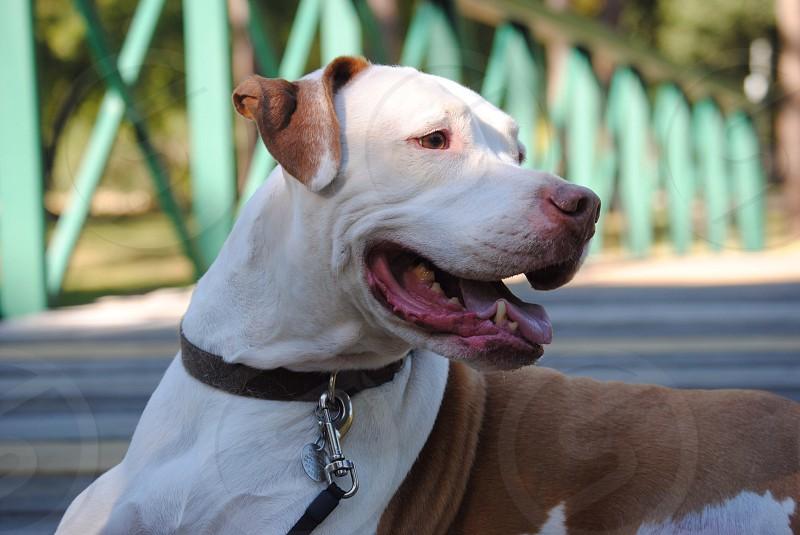 white and brown pitbull with brown leather dog collar with leash resting on wooden bridge during daytime photo