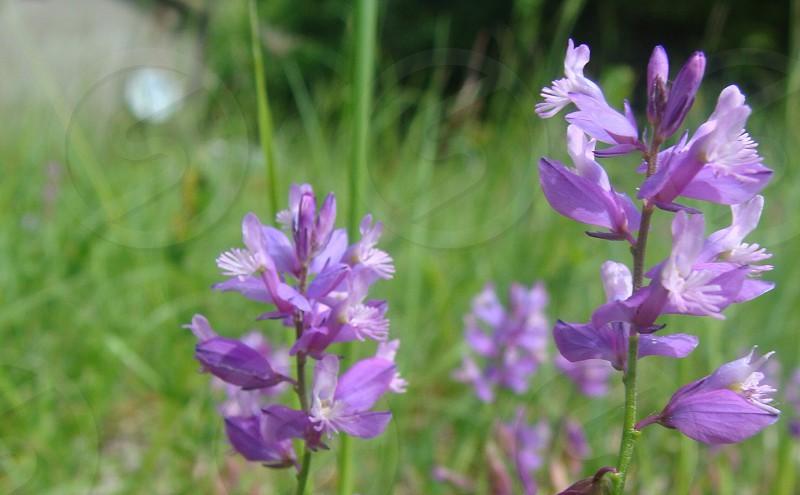 Light purple bell flower field photo