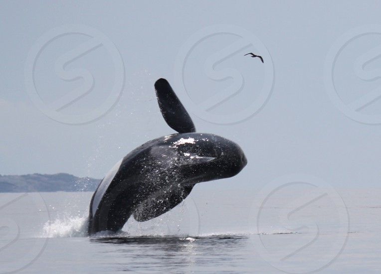 Orca breaching with bird BC photo