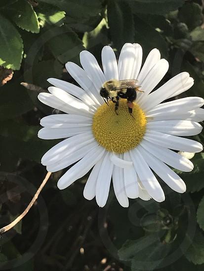 Bumblebee daisy flowers photo