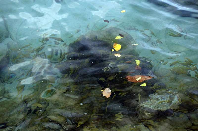 Island escapes. Leaves floating on water fishes swimming under.  #caribbeansea #tropics #turquoise #caribbean #island #water #leaves #bequia  photo