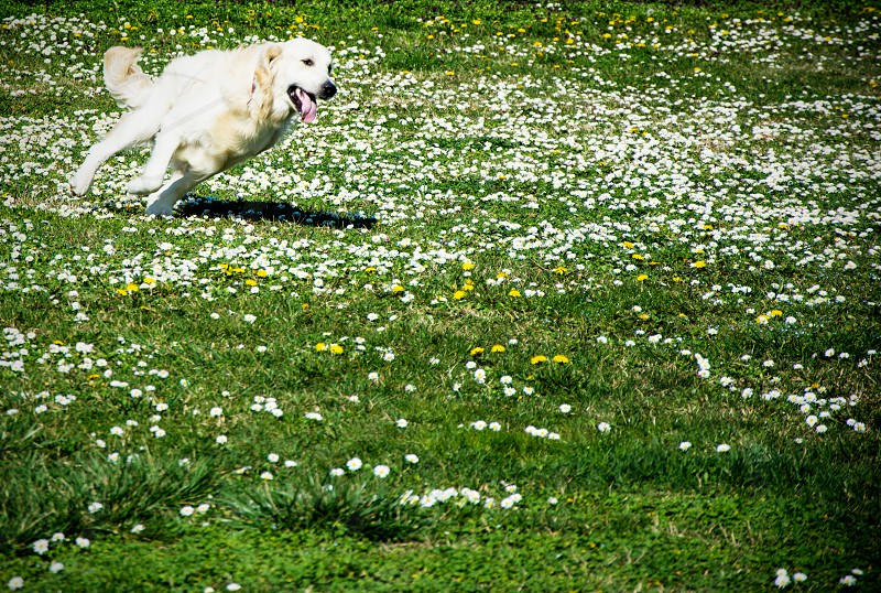 Golden retriever running free across the grass photo