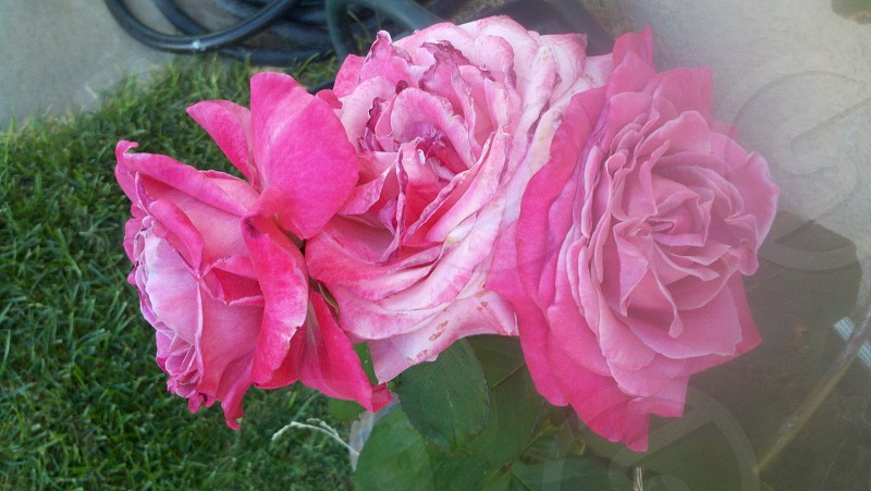 Three headed rose from our garden in Nevada photo