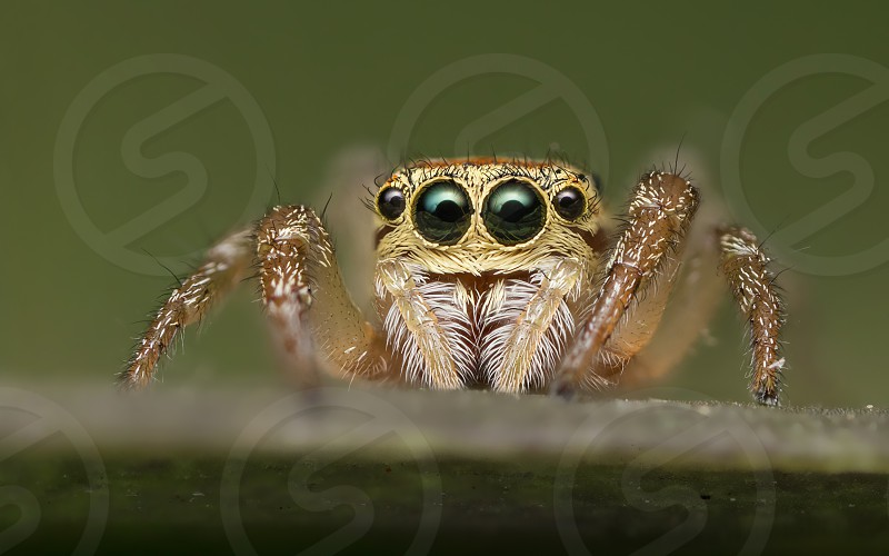Portrait of Icius sp. jumping spider. Wide of image is about 7mm photo