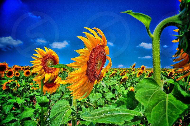 #sunflower #sunflowers #turkey #edirne photo