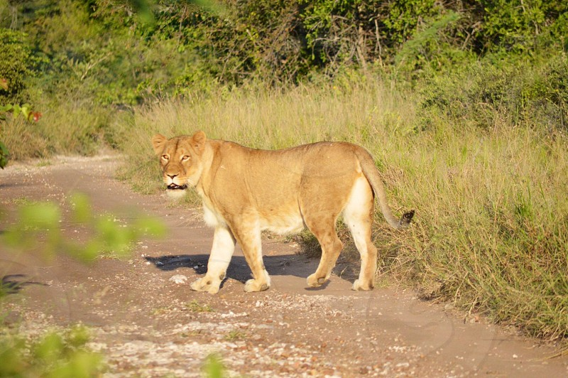 Lioness in the sun photo