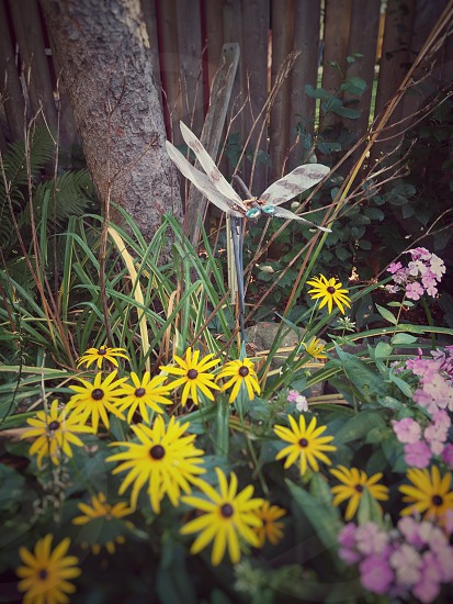 A dragonfly over a patch of unfocused yellow daisies in a garden. photo