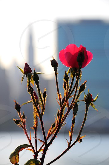 single red flower blooming with city in distance photo