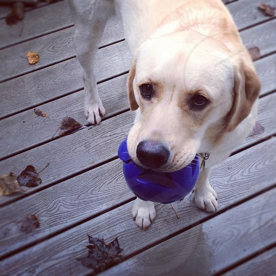 tan labrador biting a blue ball photo