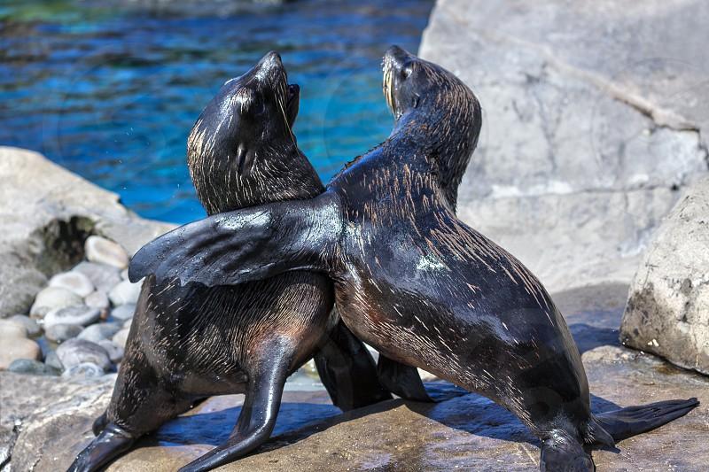 South American Fur Seals (Arctocephalus australis) photo