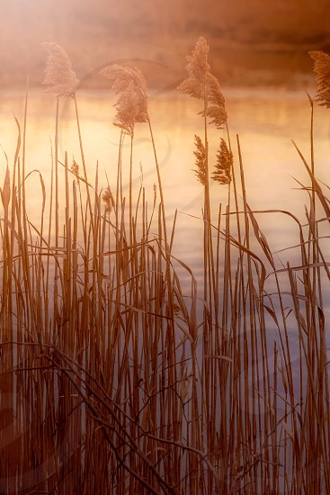 Sunlight on reeds at golden hour photo