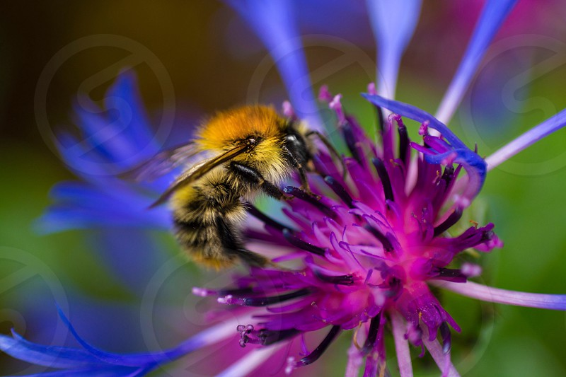 Bee bumblebee bumble flower nature spring wildlife macro purple yellow black blue  photo