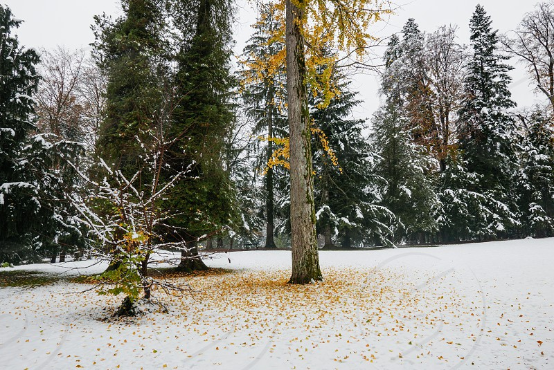 Yellow leaves falling from a tree on fresh snow. photo