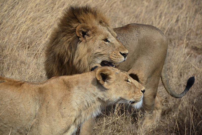 Lions Lioness lion king lion mane mating season animals wild animals wildlife big cats Wildcats outdoors nature grasslands honeymoon African Safari Africa animals in Africa Ngorongoro crater Serengeti national park Tanzania world travel destination photo