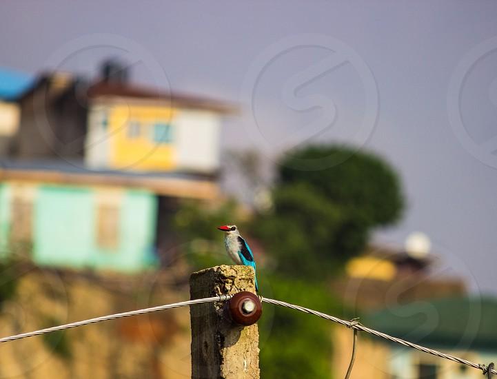 Kingfisher just outside my window photo