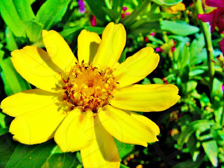 Yellow flower in the garden of the Palace of Versailles photo